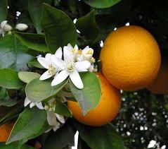 citrus blossum