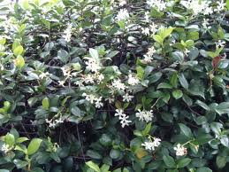 star jasmine